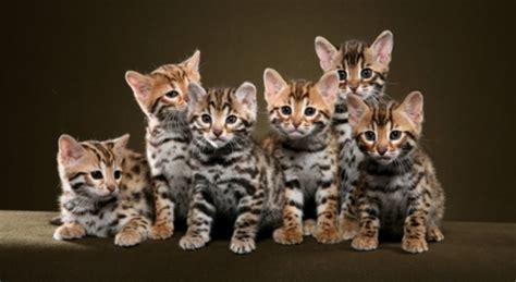 30 Very Beautiful Bengal Cat Photos And Pictures