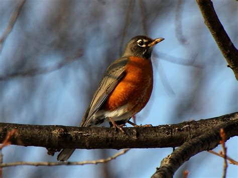 American robin - song / call / voice / sound