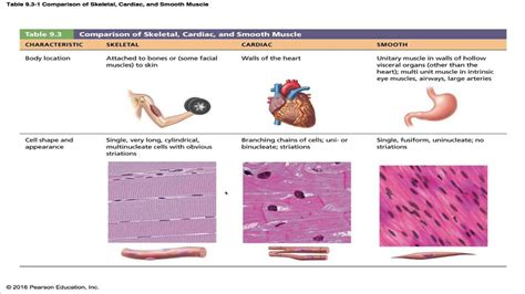 Anatomy & Physiology Chapter 9 Part A Lecture : Muscles