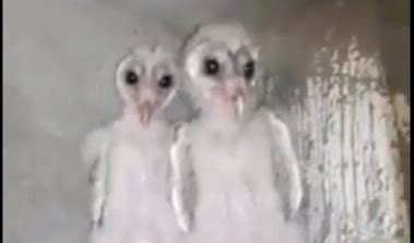 WATCH: Baby Barn Owls That Look Like Aliens from Another