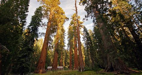 Giant Sequoias   Save the Redwoods League