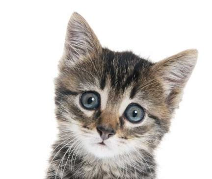 Available Polydactyl Kittens For Sale & Cats For Adoption