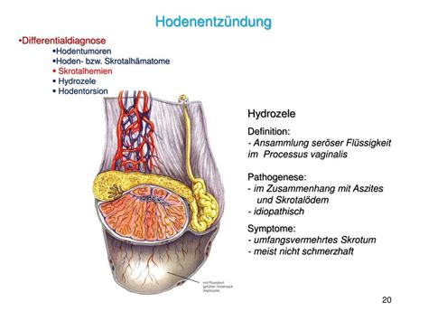 PPT - Andropathologie 3 PowerPoint Presentation - ID:829817