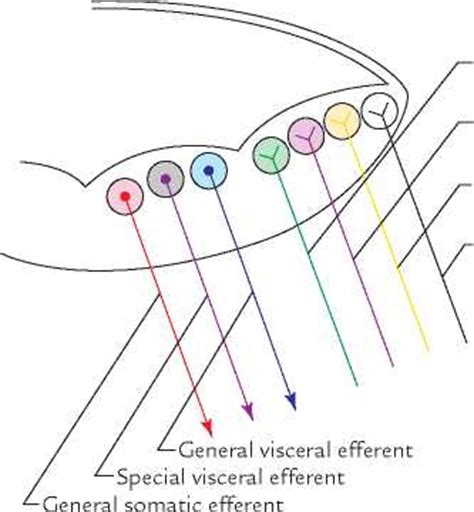 FUNCTIONAL COLUMNS AND NUCLEI IN THE BRAINSTEM
