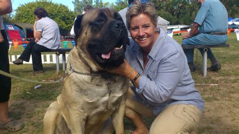 Biggest Pure Breed Boerboel You Have Ever Seen - Pets