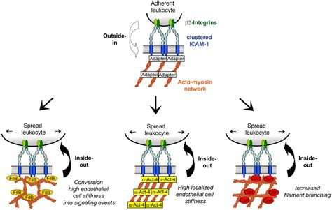 Actin-binding proteins differentially regulate endothelial