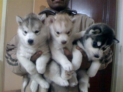 Siberian Husky Puppies for Sale(dr